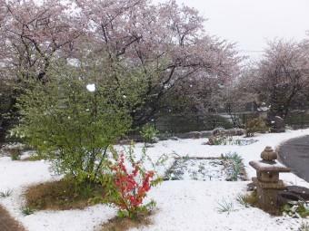 デイ・雪+桜